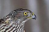 Habicht, Accipiter gentilis, Jungvogel, Portrait, CAPTIVE, Bayern, Deutschland