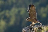 Junger Wanderfalke beim Flugtraining (Falco peregrinus), Altmühltal, Bayern, Deutschland, AUTHENTIC WILD
