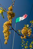 Reife, weisse Trauben und italienische Flagge, Cilento National Park, Campanien, Italien