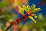 Stechpalme (Ilex aquifolium), reife Beeren, bei Lugano, Tessin, Schweiz, Oktober